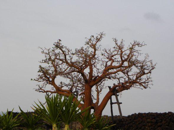Boabab Tree at Four Seasons