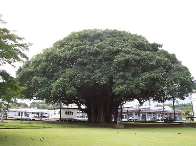 hilo_banyan_tree